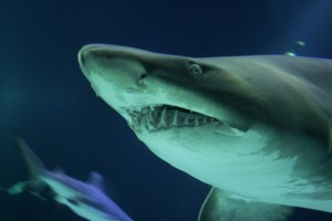 12-01-15 shark-1384087-639x426